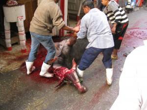 Sacrificing a cow