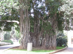 Banyan Tree at AUB